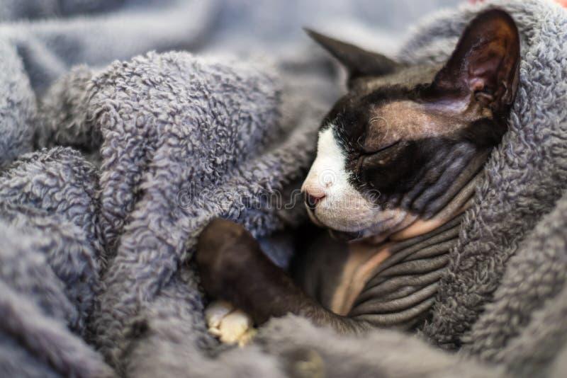 Sphynx ou o gato da esfinge estão dormindo em um sofá imagem de stock royalty free