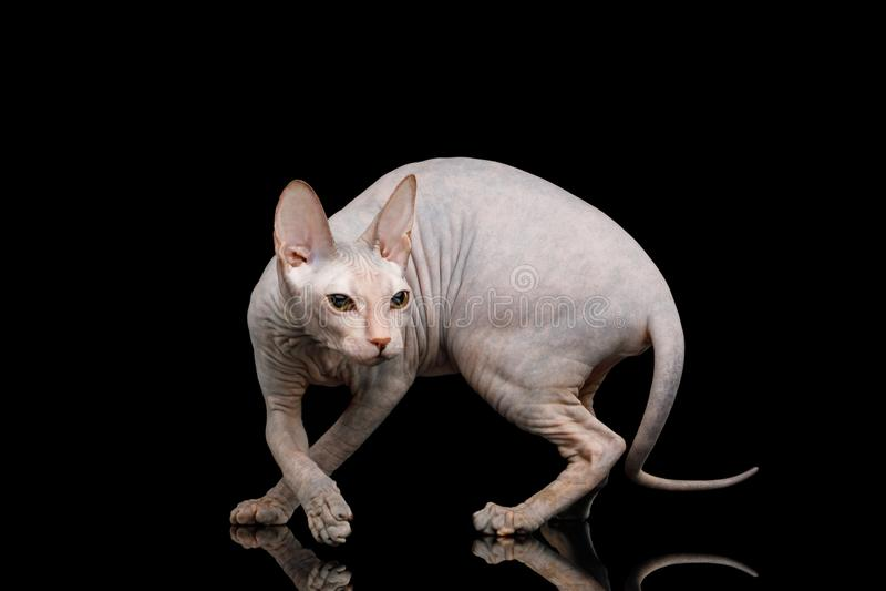 Sphynx rosado Cat Isolated en fondo negro imagen de archivo