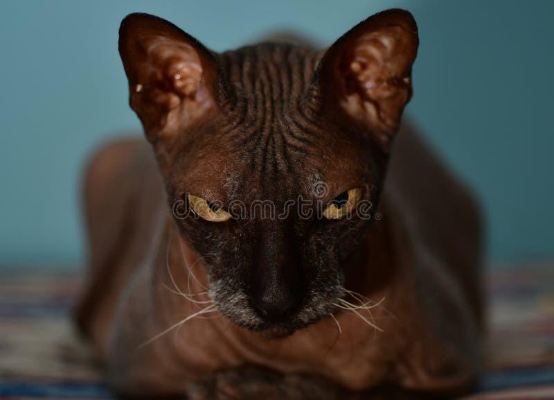 Sphynx svart katt royaltyfria foton