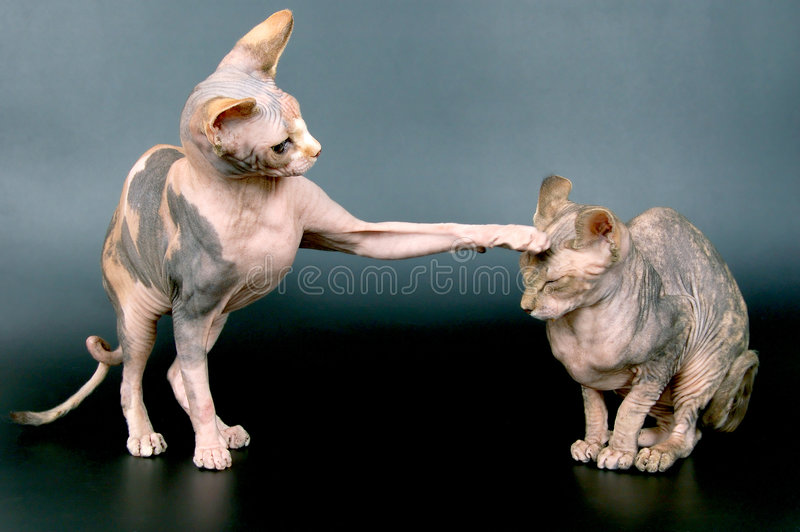 sphynxes fotos de stock royalty free