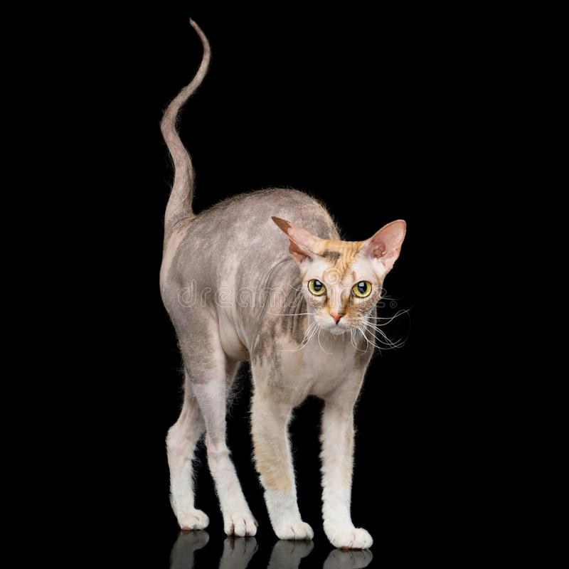 Sphynxkat met op Zwarte Achtergrond stock fotografie
