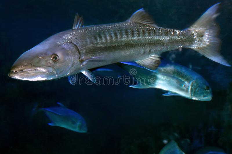 Sphyraena barracuda, or Great barracuda royalty free stock photography