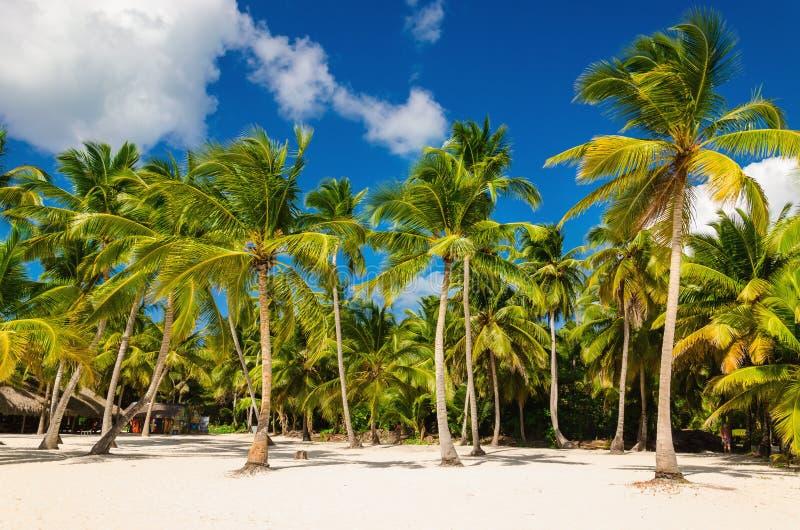 Spiaggia caraibica esotica in pieno di belle palme, Repubblica dominicana immagine stock