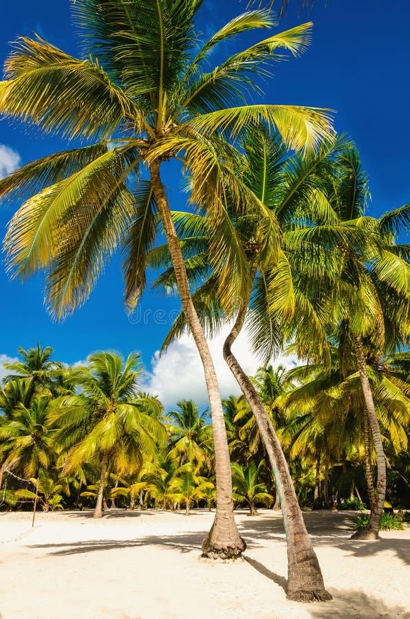 Spiaggia caraibica esotica in pieno di belle palme, Repubblica dominicana immagine stock libera da diritti
