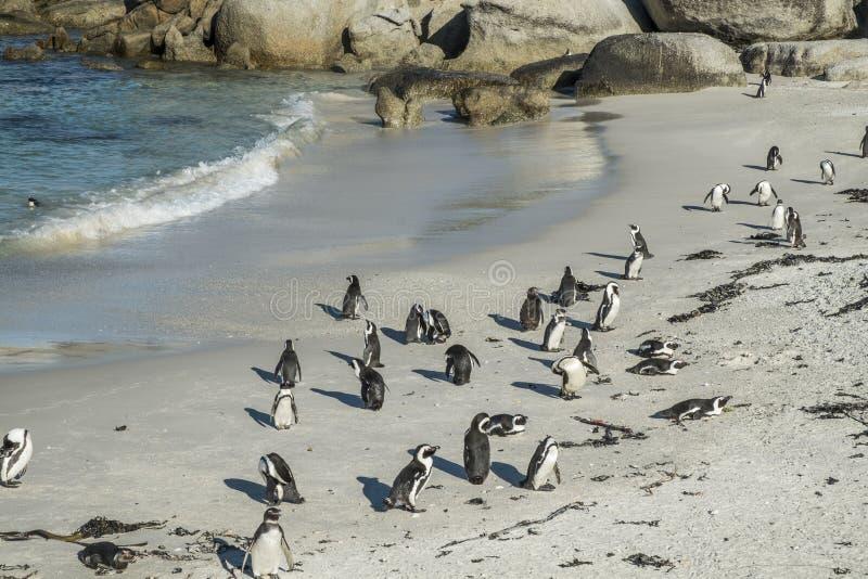 Spiaggia dei pinguini a Città del Capo fotografia stock libera da diritti