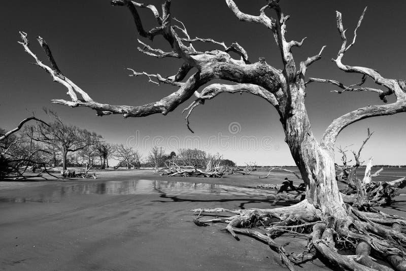 Spiaggia del legname galleggiante sull'isola di Jekyll fotografia stock libera da diritti