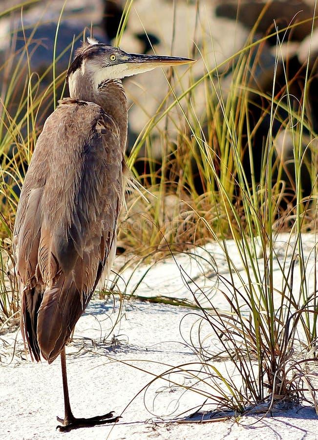 Spiaggia Florida Shell Island una di Panamá dell'airone fornita di gambe fotografia stock
