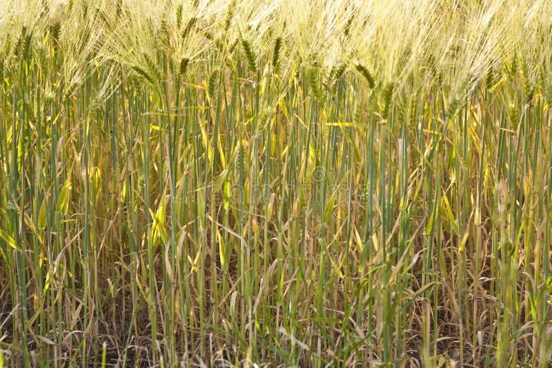 Spica del trigo imagenes de archivo