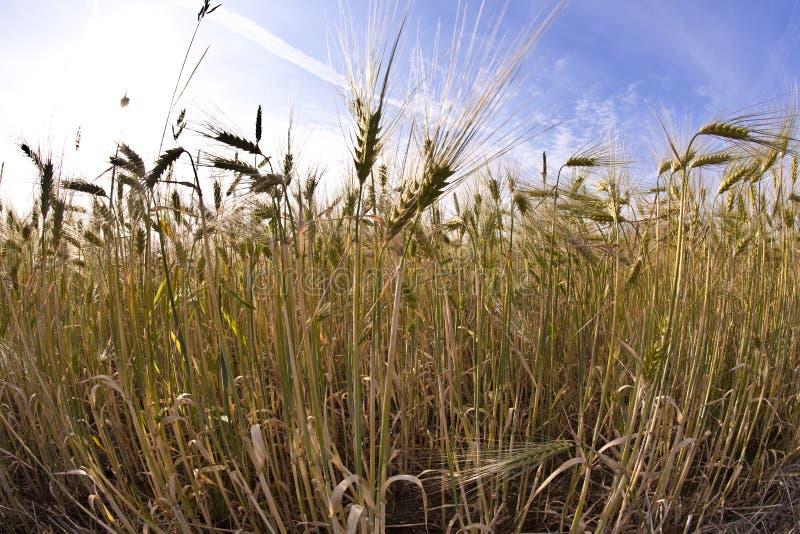 Spica del trigo imagen de archivo