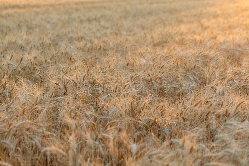 The spica of golden wheat close up. Wheat field. Beautiful nature Sunset Landscape. Rural landscapes under shining sunlight. The spica of golden wheat close-up stock photo