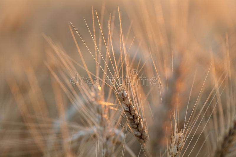 The spica of golden wheat close up. Wheat field. Beautiful nature Sunset Landscape. Rural landscapes under shining sunlight stock images