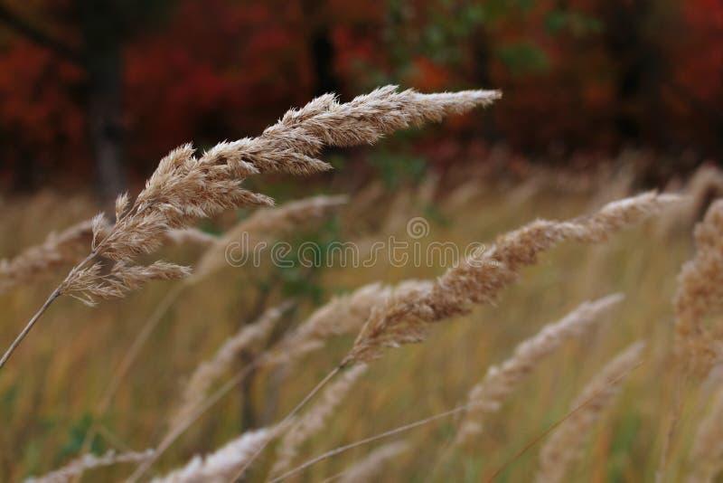 Spica-Nahaufnahme auf undeutlichem Herbsthintergrund entwickelt sich, indem sie Wind durchbrennt lizenzfreies stockfoto