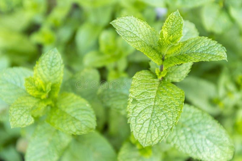 Spicata de Mentha (menthe verte) photo stock