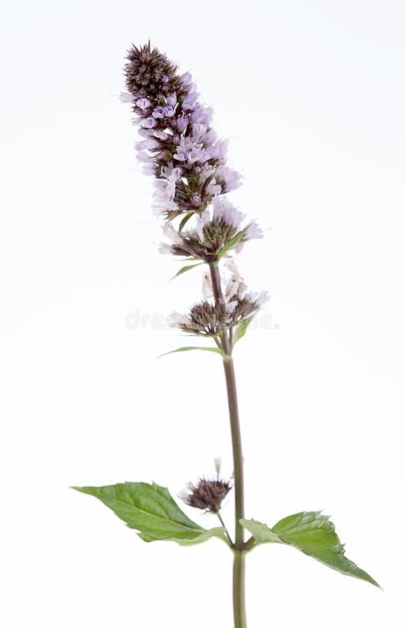 Spicata do Mentha do fitoterapia (hortelã, hortelã da lança) fotos de stock