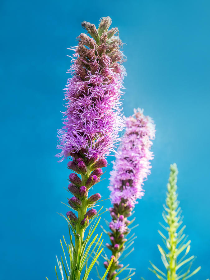 Spicata Liatris стоковое фото