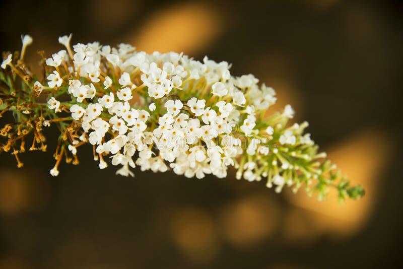 Spicate blommor, Buddleja lindleyanaförmögenhet royaltyfria foton