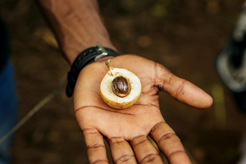 Spice Farm of Zanzibar. Fresh nutmeg fruit male hand royalty free stock images