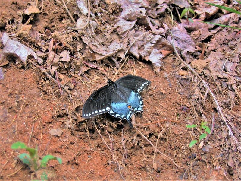 Spicebrush Swallowtail motyl zdjęcie royalty free