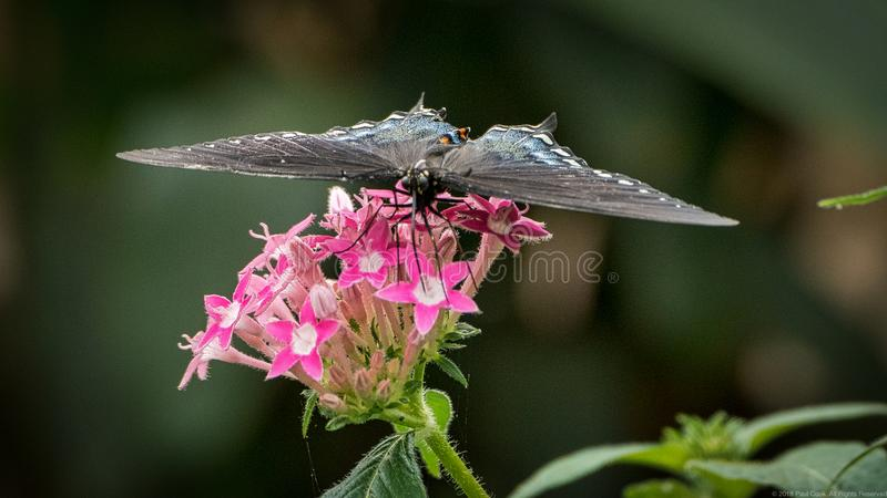 Spicebush Butterfly On Pink Flower royalty free stock photos