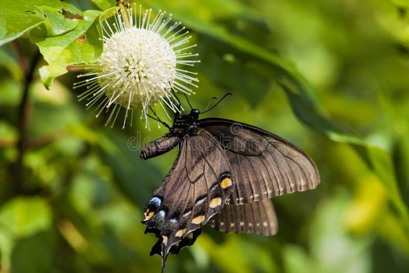 Spicebush guzika i motyla kwiaty 2 obraz royalty free