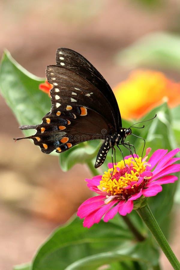 Spicebush Motyl Swallowtail zdjęcia royalty free
