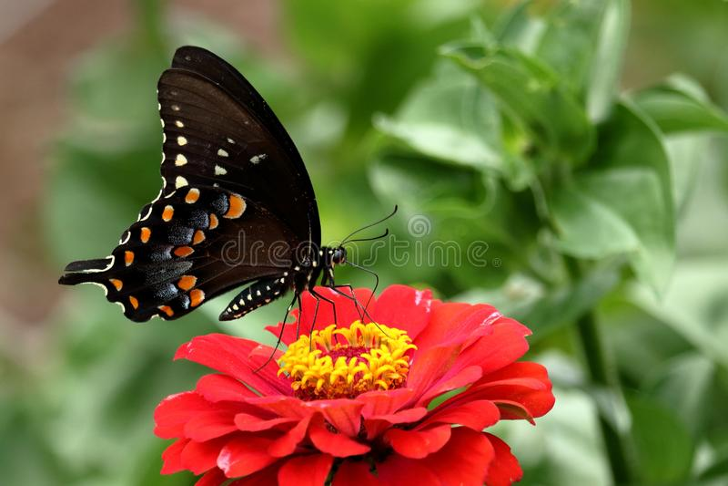 Spicebush Motyl Swallowtail fotografia royalty free
