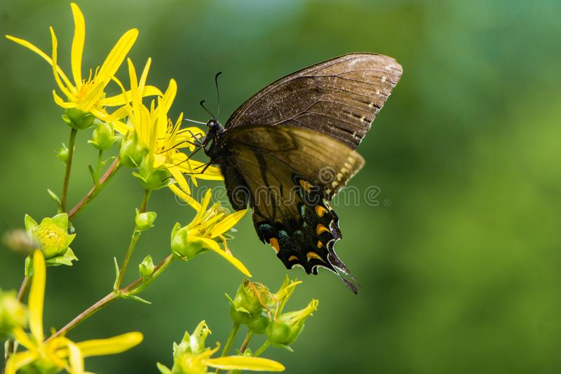 Spicebush Swallowtail蝴蝶和一朵黄色野花 库存照片