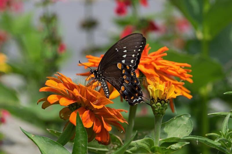 Spicebush Swallowtail 免版税库存图片