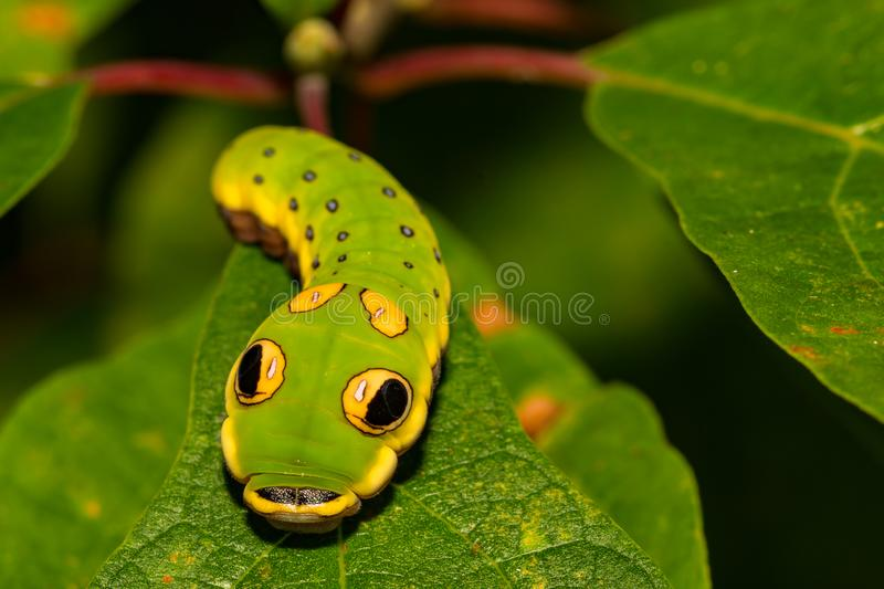 Spicebush Swallowtail Butterfly Caterpillar. A close up of Spicebush Caterpillar, a perfect snake mimic stock photo