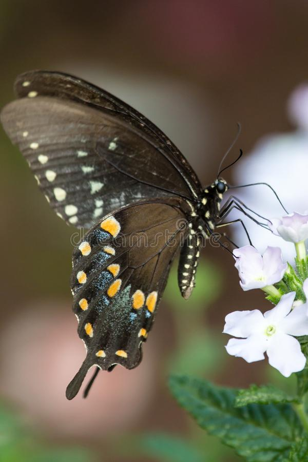 A spicebush swallowtail butterfly on an impatiens plant stock images