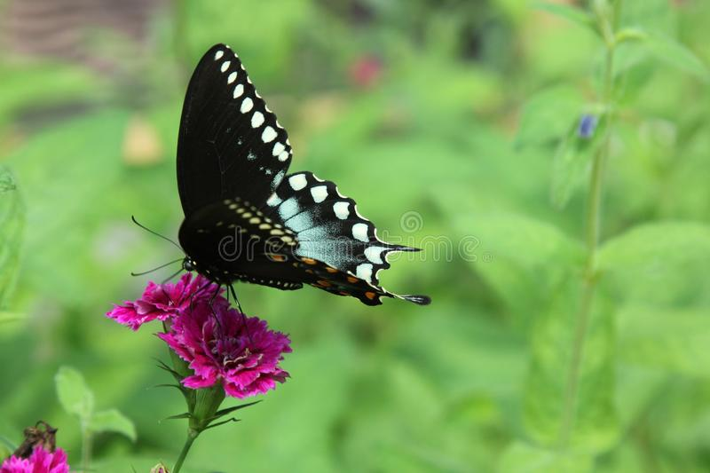 Spicebush swallowtail butterfly stock images