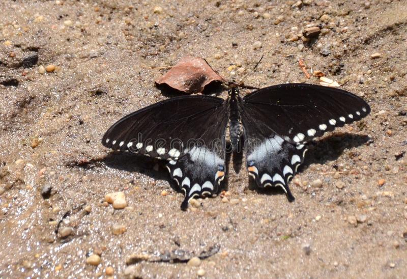 Spicebush Swallowtail Butterfly royalty free stock photo