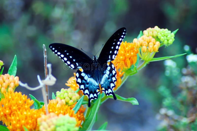 Spicebush Swallowtail butterfly wings royalty free stock photo