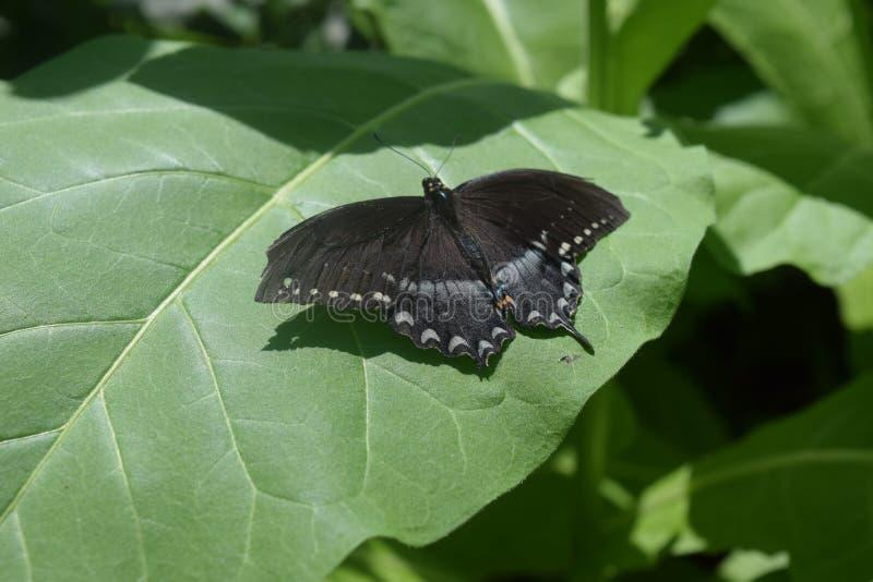 Spicebush Swallowtail en la hoja fotos de archivo libres de regalías