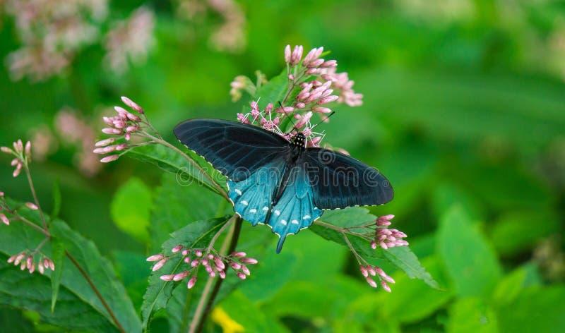 Spicebush Swallowtail fjäril och gemensam Milkweed arkivbild