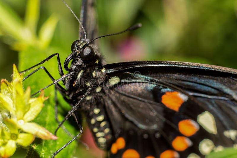 Spicebush Swallowtail Papilio troilus 库存图片