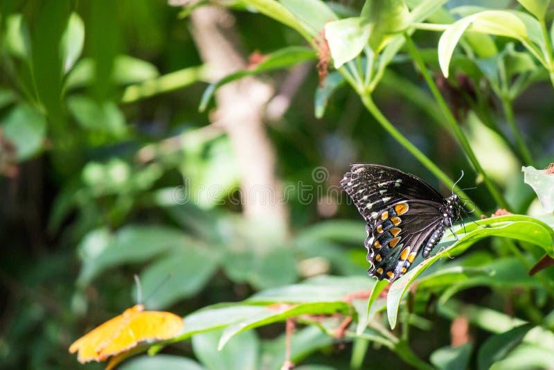 Spicebush Swallowtail (troilus de Papilio) imagem de stock royalty free