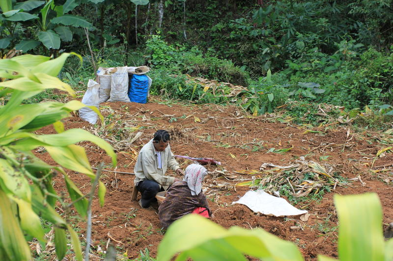 Spices bio cultivated in jungle - harvest process. Man ans woman couple harvesting roots for some bio spices production, cultivated within jungle, by a village stock images