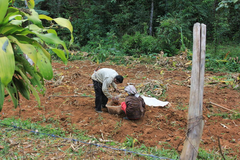 Spices bio cultivated in jungle - harvest process. Man ans woman couple harvesting roots for some bio spices production, cultivated within jungle, by a village stock photo