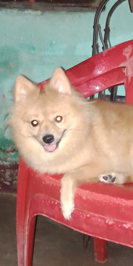Spichz pies na chear w reast pozycji zdjęcie royalty free