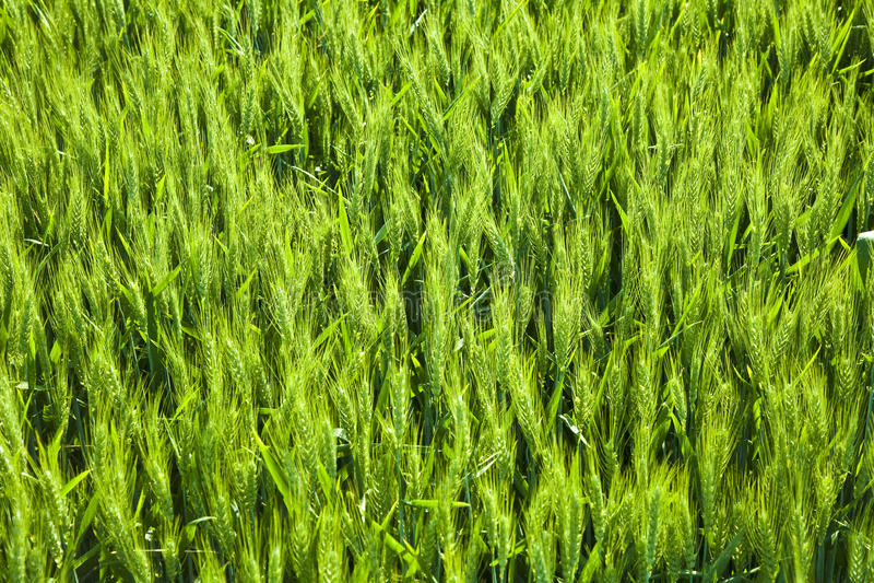 Spicka del maíz imagen de archivo