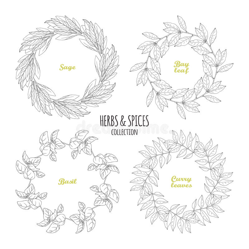 Spicy herb circle frames collection. Hand drawn sage, bay leaf, basil, curry. Kitchen background. Vector illustration vector illustration