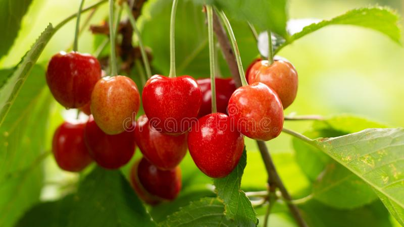 Spicy red cherry fruit on a tree closeup. Background stock images