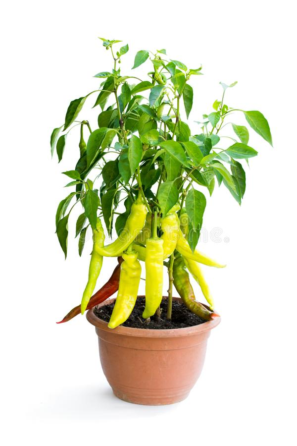 Spicy red and green pepper plant in the pot isolated on white stock photo