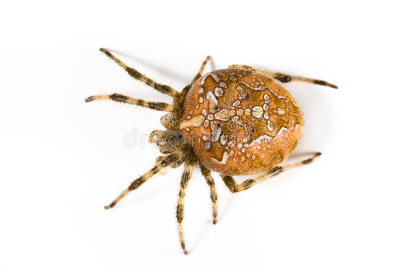 Download Spider stock image. Image of insect, arachnid, large - 11315955