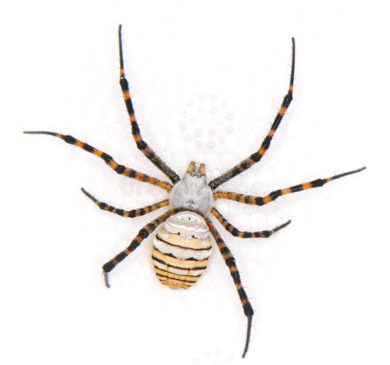 Download Spider stock photo. Image of predator, white, background - 12551100