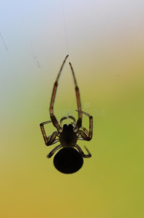 Download Spider Royalty Free Stock Image - Image: 13081606