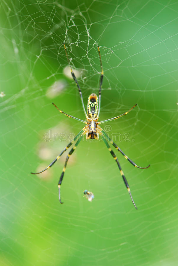 Free Spider Royalty Free Stock Photography - 15543637