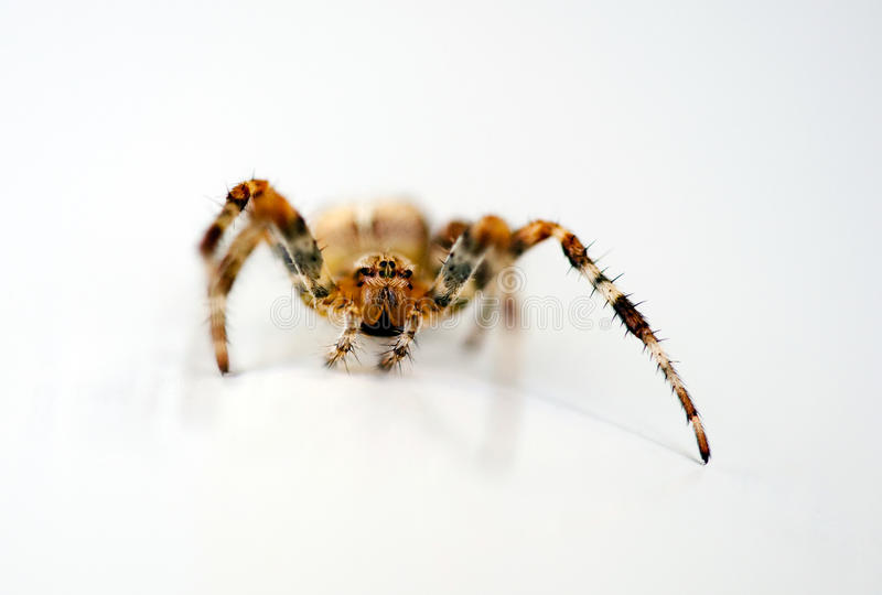 Spider. With long legs on a white background royalty free stock photo