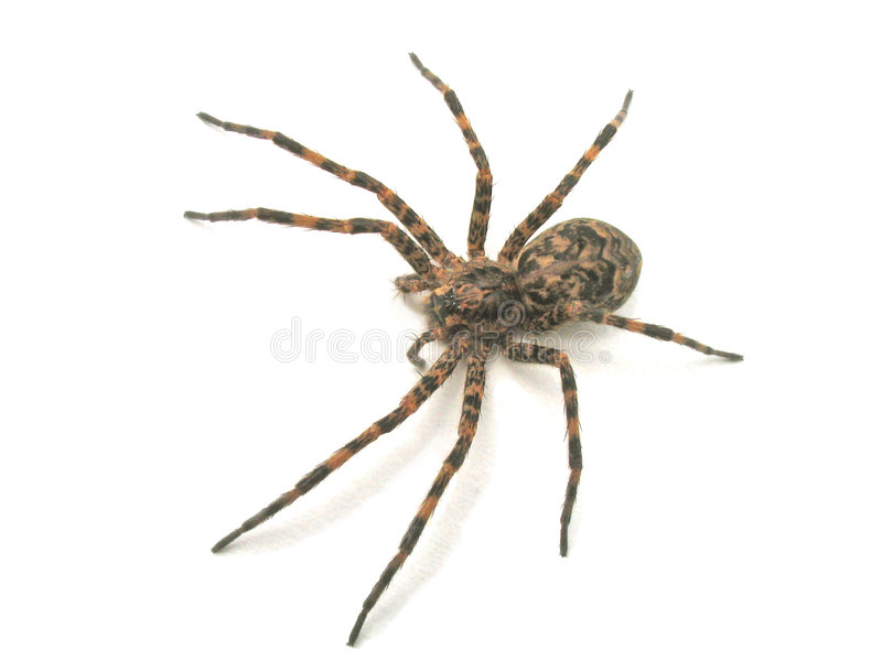Download Spider stock photo. Image of insect, large, lycosidae, details - 162300